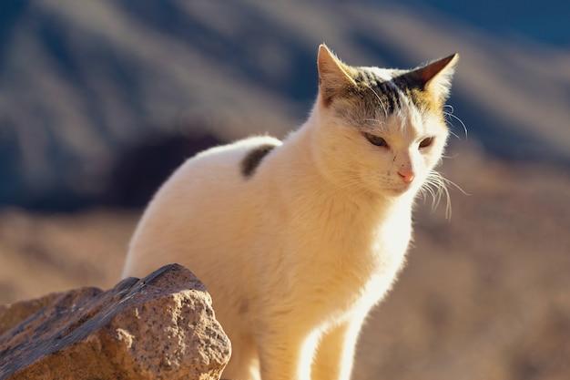 Die katze geht den weg vor dem hintergrund des berges moses in ägypten entlang