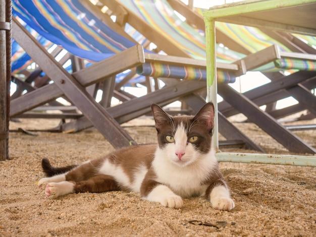 Die katze ist braun und weiß. setzen sie sich auf den sand, neben den liegestühlen am strand.