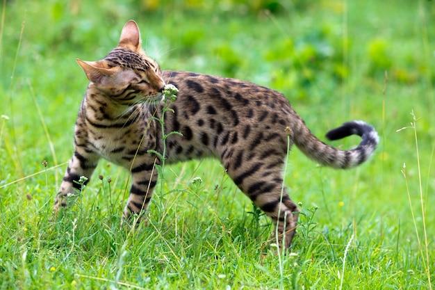 Die katze läuft auf einem rasen