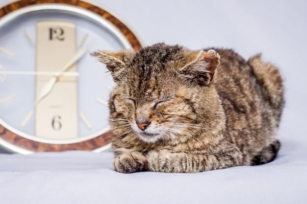 Die katze schläft in der nähe der uhr. die uhr zeigt die zeit an, zu der sie aufwachen möchten