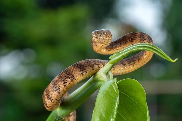 Die kielschnecke frisst schlange, die um einen ast gewickelt ist