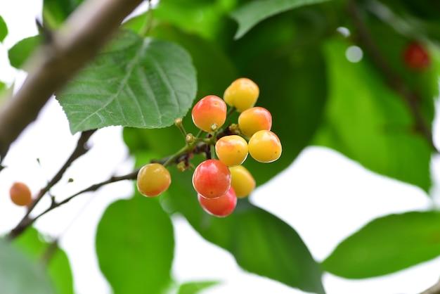 Die kirschbäume auf dem hof reifen im sommer zu kirschen