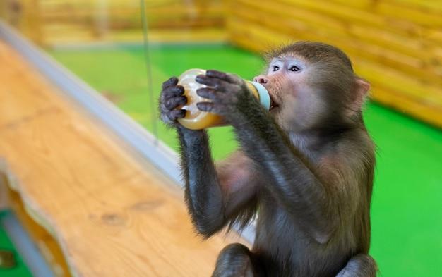 Die kleine graue hamadryl isst zu mittag. affe mit einer flasche. tier. säugetiere. primaten.