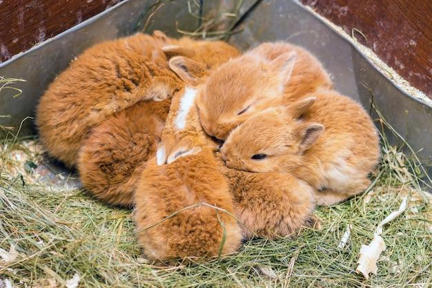 Die kleinen orangefarbenen kaninchen im käfig. kaninchen schlafen eins in der nähe von one_