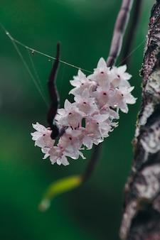 Die kleinlippigen dendrobium-blüten haben eine hellrosa farbe