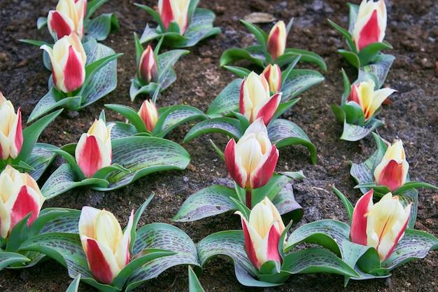 Die knospen gelb-roter tulpen blühen auf dem gartenbett im park