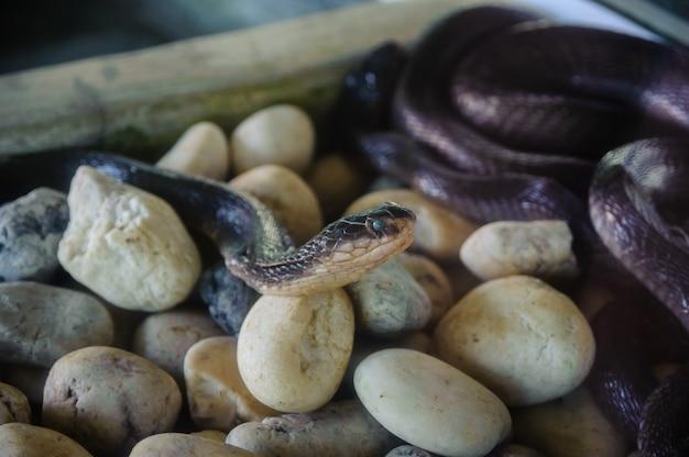 Die kobraschlangenfarm in thailand