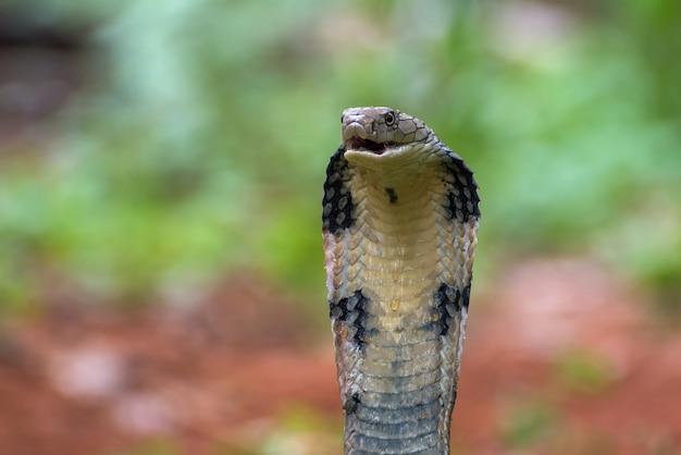 Die königskobra (ophiophagus hannah)
