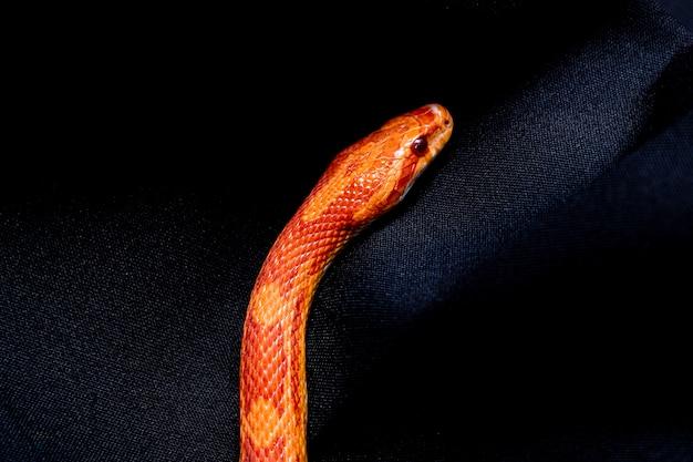 Die kornnatter ist eine nordamerikanische rattenschlangenart, die ihre kleine beute unterwirft