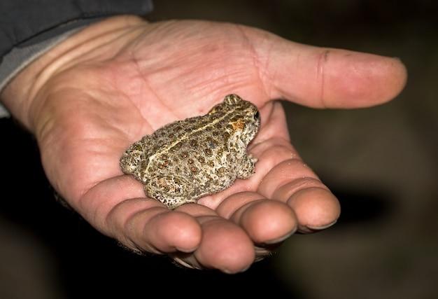 Die kreuzkröte bufo calamita, eine kleine kröte, die in der hand eines mannes sitzt.