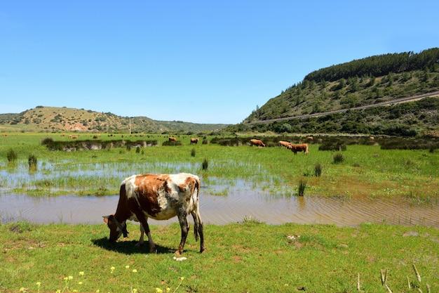Die kühe, die auf dem strand von boca del rio, vila weiden lassen, tun bispo, algarve, portugal
