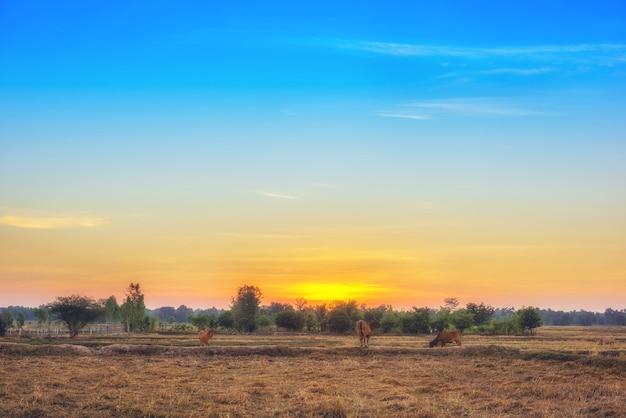 Die kühe fressen gras zum vergnügen auf den feldern bei sonnenaufgang und dem schönen himmel.