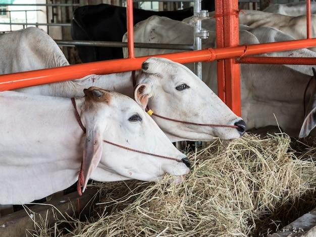 Die kuh wartet darauf, dass der wohltäter vom schlachthof auf die farm eingelöst wird