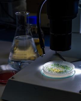 Die kultur in einer petrischale unter einem lichtstereomikroskop wird für die pharmazeutische biowissenschaftliche forschung untersucht. konzept der wissenschaft, labor und untersuchung von krankheiten.