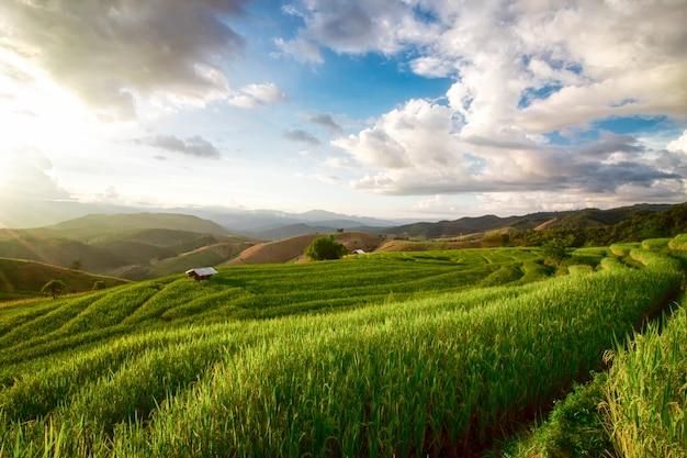 Die landschaft des reisfeldes ist die bühne jedes jahr im oktober in chiang mai.