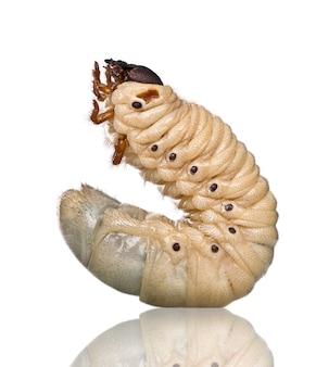 Die larve eines herkuleskäfers - dynastes hercules - ist der berühmteste und größte nashornkäfer.