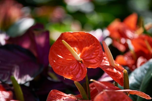 Die lebendige farbe der anthuriumblüte im tropischen garten
