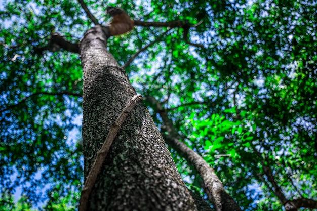 Die liane, die bäume im wald bindet.