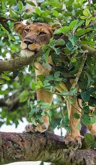 Die löwin versteckt sich in den ästen eines großen baumes