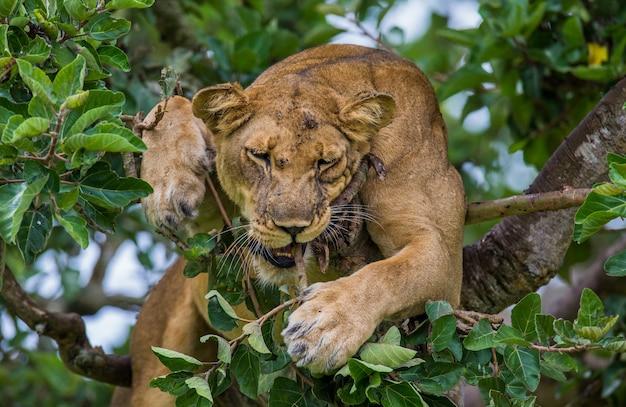 Die löwin versteckt sich in den blättern eines großen baumes