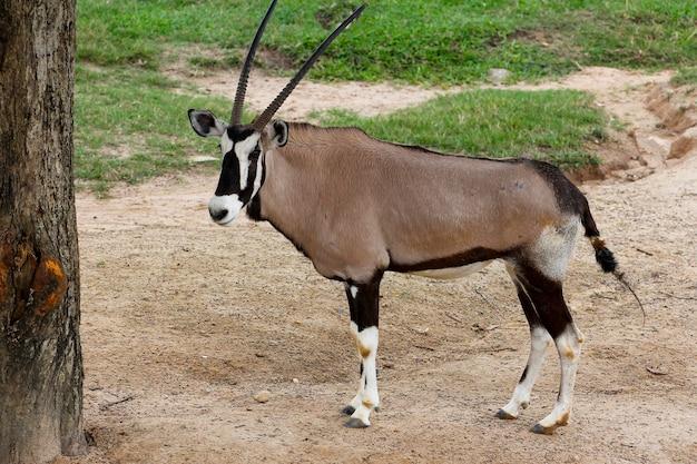 Die männliche oryxantilope im sawanna-garten