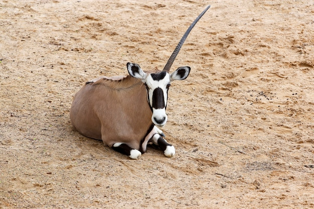 Die männlichen oryxantilopen haben ein horn im sawanna-garten