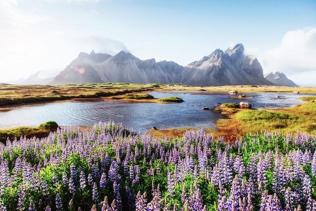 Die malerischen landschaften von wäldern und bergen islands. wilder blauer lupine, der herein im sommer blüht