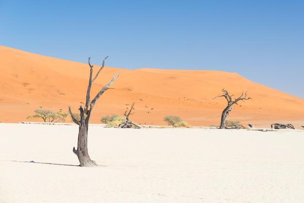 Die malerischen sossusvlei, geflochtene akazien, umgeben von majestätischen sanddünen. namib naukluft national park, namibia.
