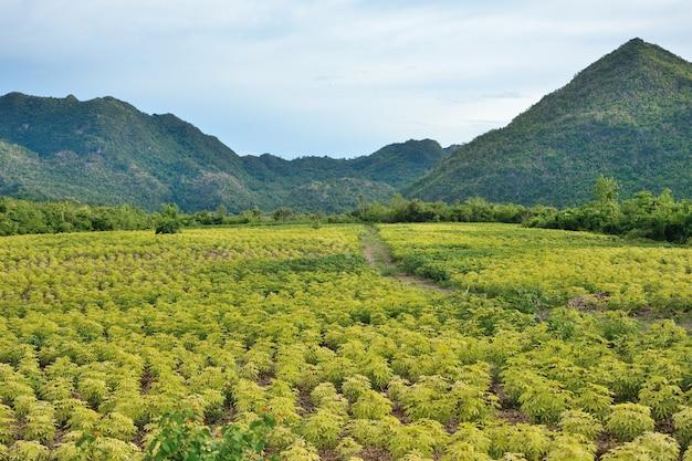 Die maniokplantage hat berge in thailand