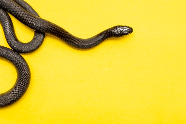 Die mexikanische schwarze königsschlange gehört zur größeren colubrid-schlangenfamilie und ist eine unterart der gemeinen königsschlange.