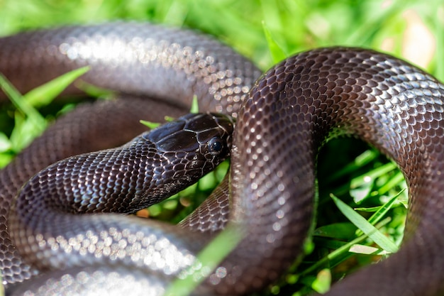 Die mexikanische schwarze königsschlange gehört zur größeren colubrid-schlangenfamilie