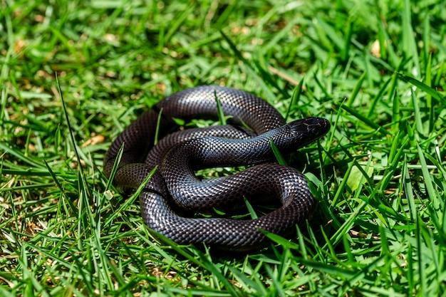 Die mexikanische schwarze königsschlange (lampropeltis getula nigrita) gehört zur größeren colubrid-schlangenfamilie und ist eine unterart der gemeinen königsschlange