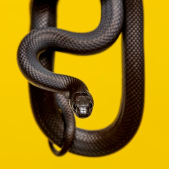 Die mexikanische schwarze königsschlange (lampropeltis getula nigrita)