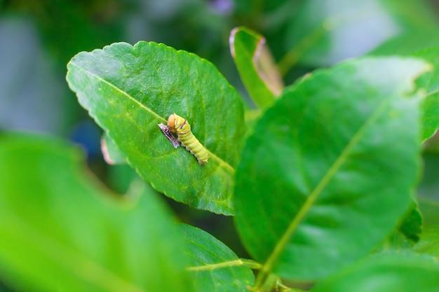 Die nahaufnahme der fetten grünen raupe klettert auf das grüne zitronenblatt. es isst etwas nahrung auf grünem blatt im natürlichen thema. es wird eine puppe, bevor als nächstes der schmetterling heranwächst.