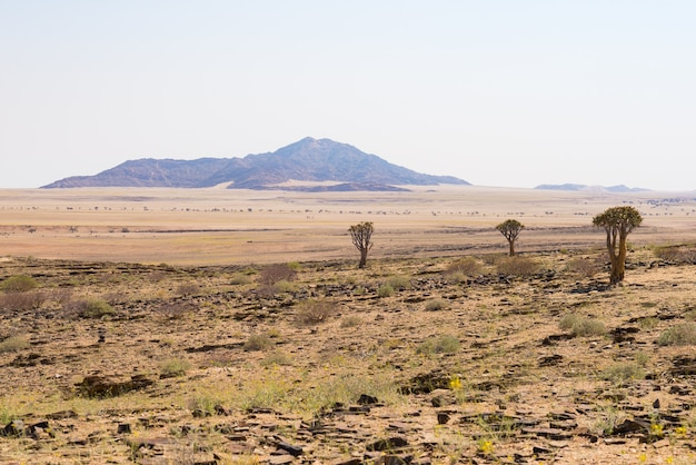 Die namib wüste, roadtrip in den wunderschönen namib naukluft nationalpark, reiseziel und highlight in namibia, afrika. geflochtener akazienbaum und rote sanddünen.