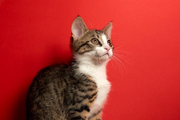 Die nette kleine katze, die auf rot aufwirft, lokalisierte hintergrund