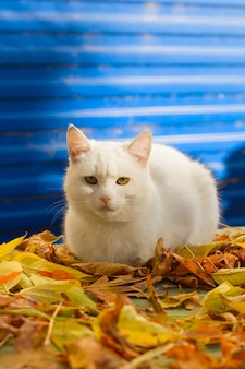 Die nette weiße katze, die in herbst gefallenem gelb sitzt, verlässt auf einem blauen hintergrund