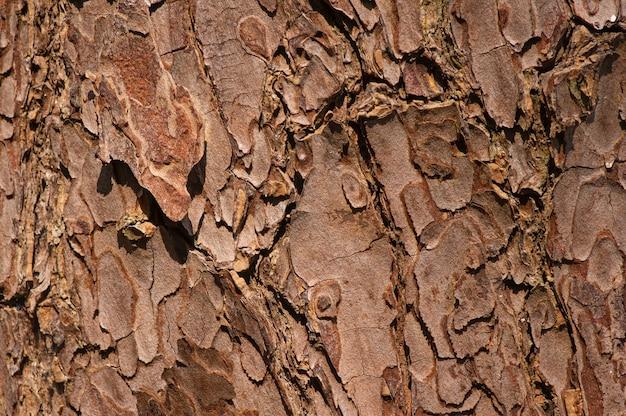 Die oberfläche einer alten mahagoni (swietenia mahagoni) baumrinde für natürlichen hintergrund