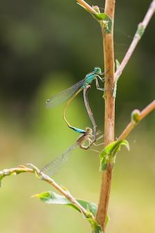 Die paarung von blauen libellen auf dem ast in der natur. makrofotografie mit geringer schärfentiefe