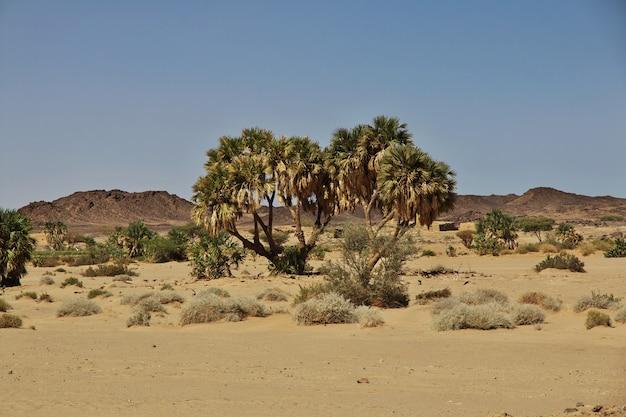 Die palme in ghazali, sudan, afrika