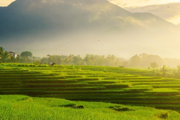 Die panoramaschönheit der reisfelder mit einem nebligen morgen im dorf kemumu, arma jaya, bengkulu utara, indonesien