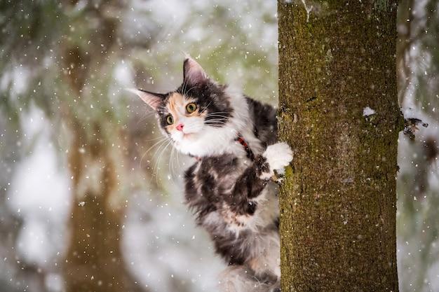 Die polychrome maine coon-katze klettert im winter in einem verschneiten wald auf einen baum