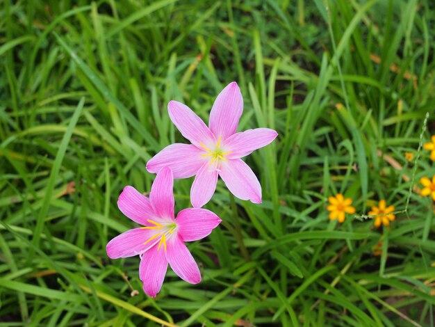 Die purpurrote regenlilienblume in thailand