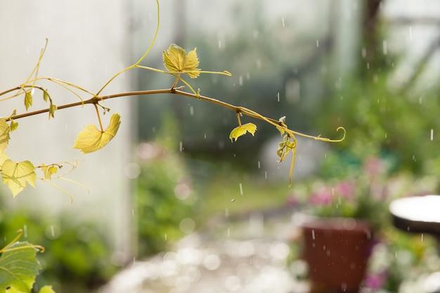 Die ranke im regen