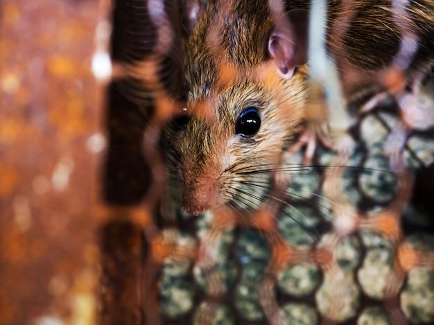 Die ratte ist in einem käfig oder einer falle gefangen. die schmutzige ratte hat die krankheit auf den menschen übertragen