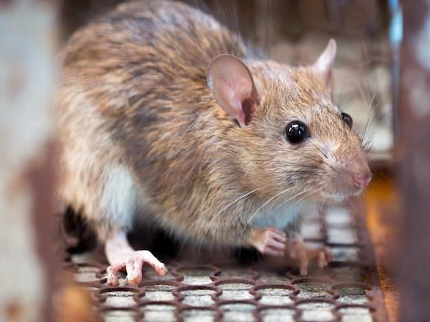 Die ratte ist in einem käfig oder einer falle gefangen.