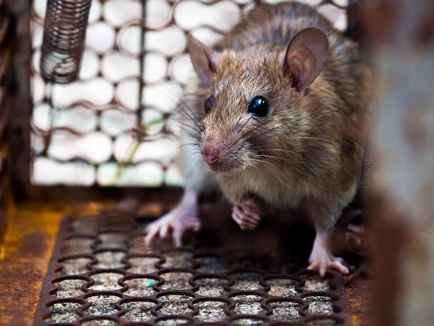 Die ratte war in einem käfig, der eine ratte fängt, die die krankheit der ratte an menschen wie pest angesteckt hat