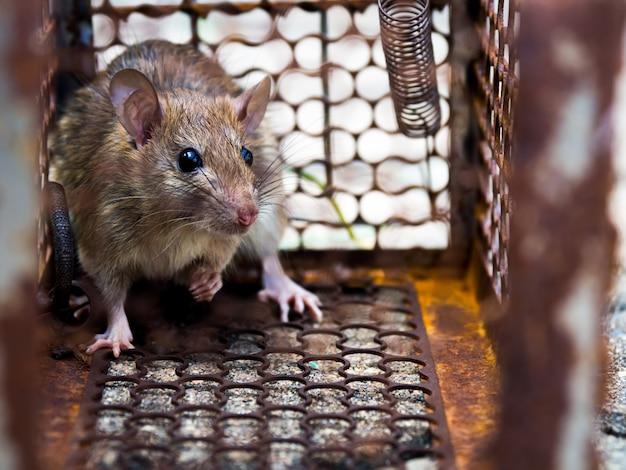 Die ratte war in einem käfig gefangen. die ratte hat die krankheit auf menschen wie leptospirosis, pest ansteckend.
