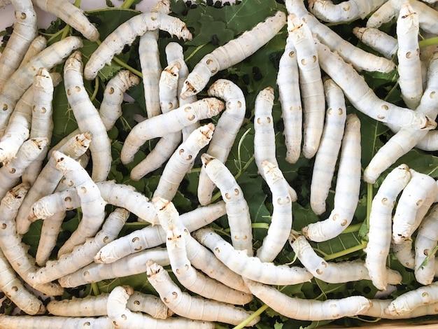 Die reifen seidenraupen sind bereit, kokons zu formen und puppen zu werden.