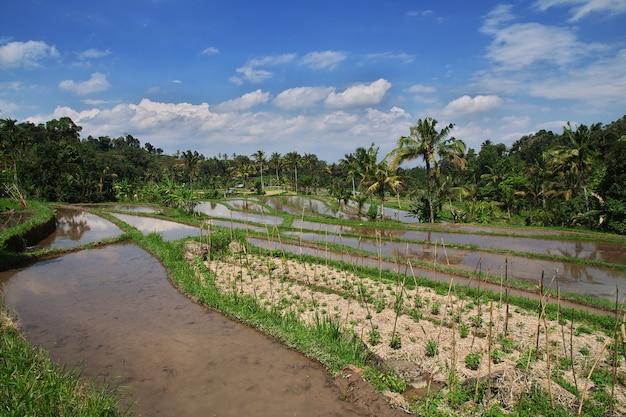 Die reisterrassen auf bali, indonesien